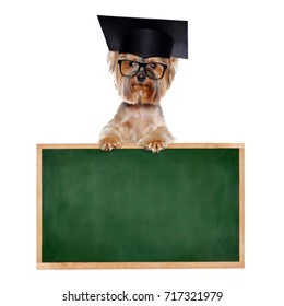 Yorkshire Terrier wearing mortar board and glasses standing on school board