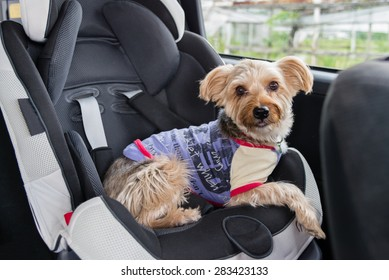 A Yorkshire Terrier wearing a purple shirt and colorful collar sitting in a child's car seat.