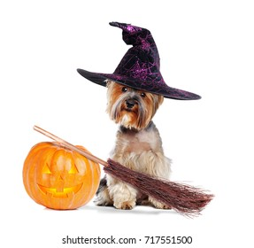 Yorkshire Terrier wearing witch outfit with halloween decorations in a white studio