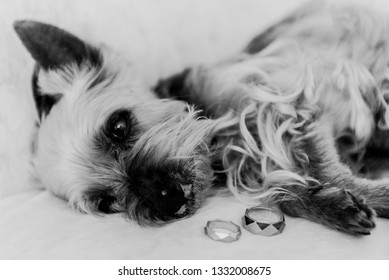 Yorkshire Terrier and Wedding Rings