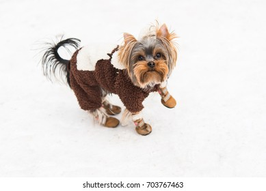 Yorkshire Terrier in winter clothes on snow