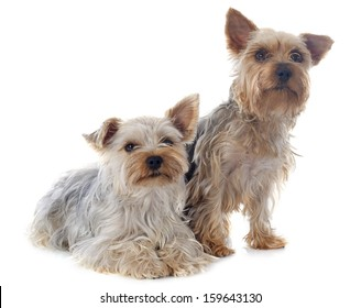 yorkshire terriers in front of white background