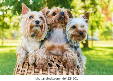 Yorkshire terriers sitting in the basket outdoors