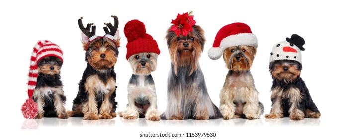 Yorkshire terriers wearing different christmas hats