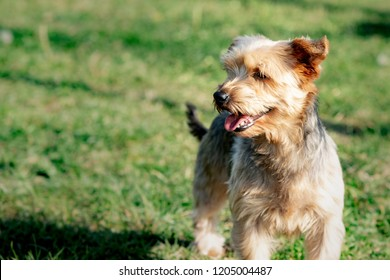 A yorshire dog living in an animal shelter in belgium