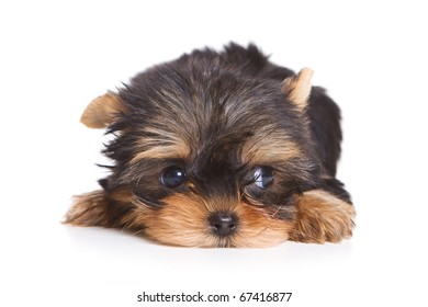 Yorshire terrier puppy isolated on white