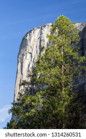 Yosemite National Park's iconic granite monolith named El Capitan, a favorite California rock climb, is fronted by a tall evergreen glowing in the morning sunlight.