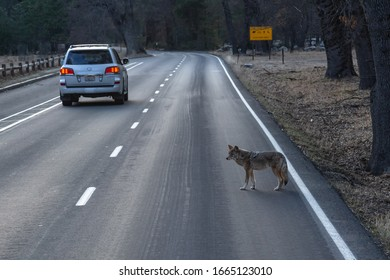 Yosemite National Park, CA/USA -February  27, 2020: Coyote on roadway in Yosemite Village