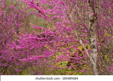 Yosemite Red Bud Tree in Bloom