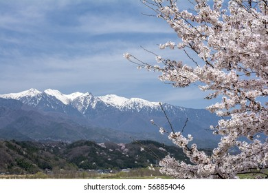Yoshino cherry blossoms in front of snow capped mountain range