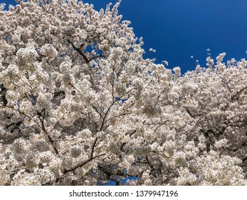 Yoshino cherry (Prunus × yedoensis) is a hybrid cherry of between Prunus speciosa (Oshima zakura) as father plant and Prunus pendula f. ascendens (Edo higan) as mother.