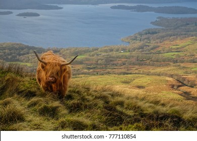 """You called Moo?"" A trademark red highland coo (cow in Scottish accent) chewing grass on the high hill with a calm backdrop of a lake and landscape"
