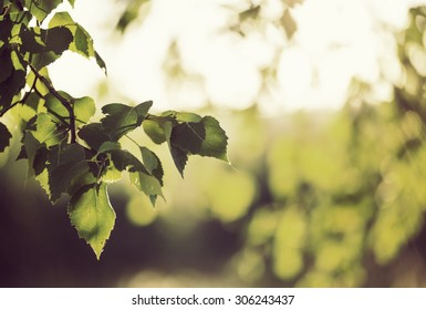 You can almost smell the summer. What a feeling. Image is about fresh birch leaves against the sunlight. Image also has vintage effect to create some artistic angle in it.
