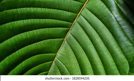 If you look closely at a kratom leaf you will see that the stem and vein have a certain color. This color determines the effect the kratom leaf will have on mind and body.
