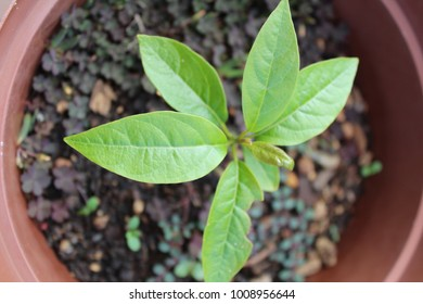 Yound Avocado Tree in a Pot