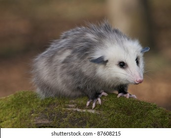 Young 8 month old Opossum on a moss covered log. He is at a wildlife rehab center unable to be released to the wild as he is imprinted on people.