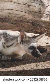 Young Aardwolf Namibia