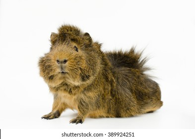 young abyssinian guinea pig (side, looks to camera)