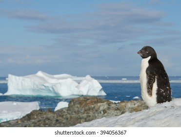 Young Adelie penguin standing on snowy hill, with blue sea and iceberg in background, Antarctic Peninsula