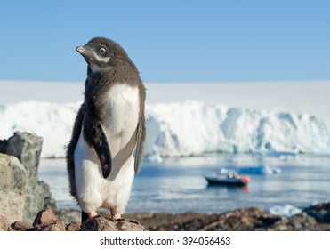 Young Adelie penguin standing on the rock, with blue sky, sea  and iceberg in background, Antarctic Peninsula