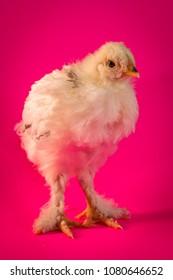 Young adolescent light Brahma chicken farm hen portrait