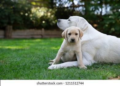 young adorable purebred labrador retriever dog puppy pet outdoors playing