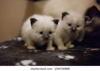 Young adorable white Sacred Birman kittens