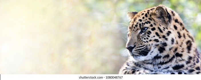 Young adult Amur Leopard. A species of leopard indigenous to southeastern Russia and northeast China, and listed as Critically Endangered. Space for text. Popular social media banner proportions.