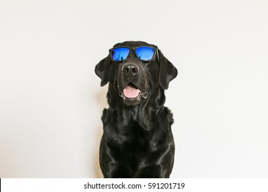young adult Black Labrador Retriever isolated on white background wearing sunglasses. Fun and lifestyle
