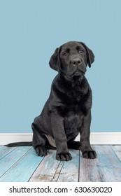 Young adult black labrador retriever on a blue living room background