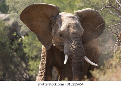 Young adult elephant shaking its head and making dust and showing tusks
