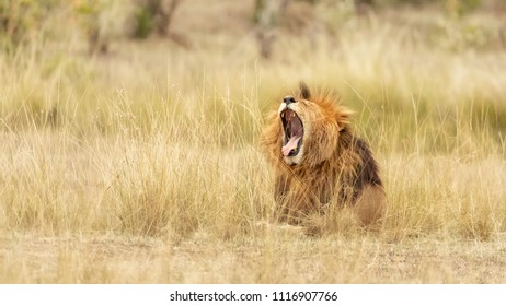 Young adult male lion roars or yawns, in the long red oat grass of the Masai Mara, Kenya.