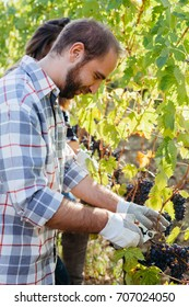 Young adult man harvesting red grapes in the vineyard with a woman friend