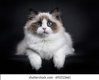 Young adult Ragdoll cat laying isolated on black background with paws hanging over edge