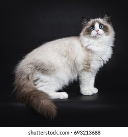 Young adult Ragdoll cat standing sideways isolated on black background
