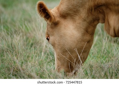 Young, adult rare bread Cow seeing grazing in long grass on a farm pasture. She is one of a heard of expectant Cows.