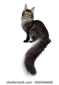 Young adult ticked Maine Coon cat sitting side ways with tail hanging down isolated on white background and looking at camera