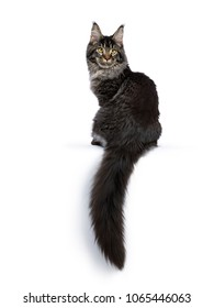 Young adult ticked Maine Coon cat sitting backwards with tail hanging down isolated on white background