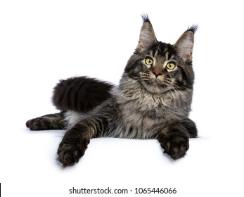 Young adult ticked Maine Coon cat laying down with paws over edge isolated on white background looking at lens