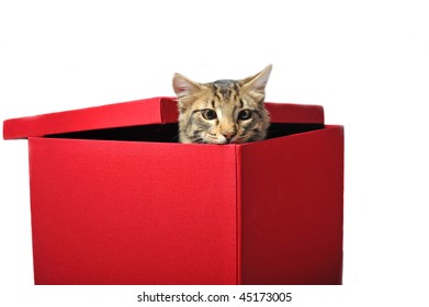 young afraid brown cat in a red box