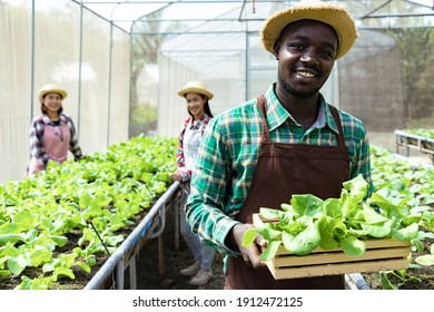 A young African American holding Butterhead Lettuce in wooden box at organic farm with farmer. hydroponic fresh vegetables produce