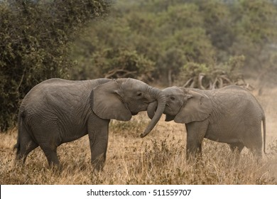 Young African bush elephants  (Loxodonta africana) playing together, Kenya
