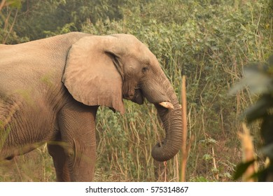 Young African elephant.