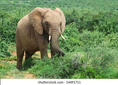A young African elephant with big ears, trunk and tusks feeding in the Addo Elephant Park in South Africa