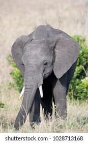 A young African elephant in Masai Mara, Kenya