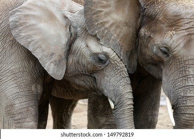 Young African Elephant with Mother