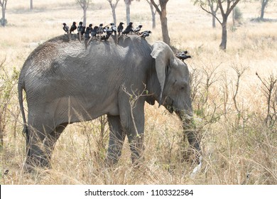 young African elephant whose back is full of birds and feeds on grass