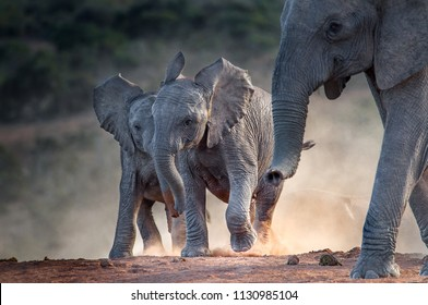 Young African elephants racing toward the water, stirring up dust in the late afternoon sun. Addo Elephant National Park, South Africa