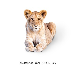 Young African Lion Cub lying down and looking forward. Isolated on White