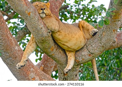 Young African Male Lion Asleep in a Tree in the Ishasha Region of Queen Elizabeth National Park in Uganda
